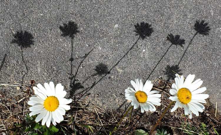 3 Blumen am Wegrand, die ihren Schatten auf die angrenzende Straße werfen