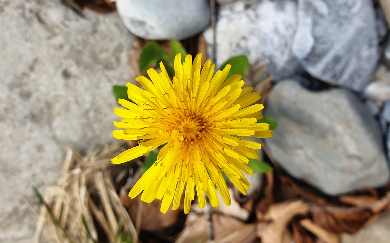 Löwenzahnblume, die aus hartem Boden sprießt